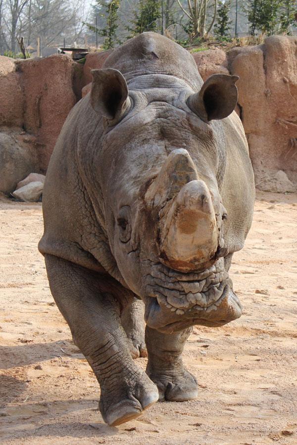 rinoceronte_Serengeti_ZoomTorino10RID-SD